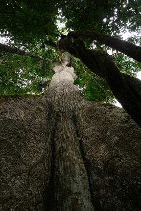 Kapok tree (Savior tree)